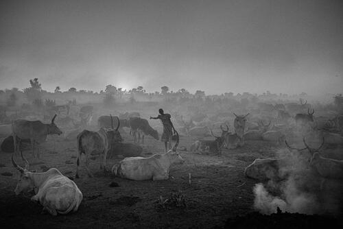A girl working with her family's cattle on the outskirts of Bentiu