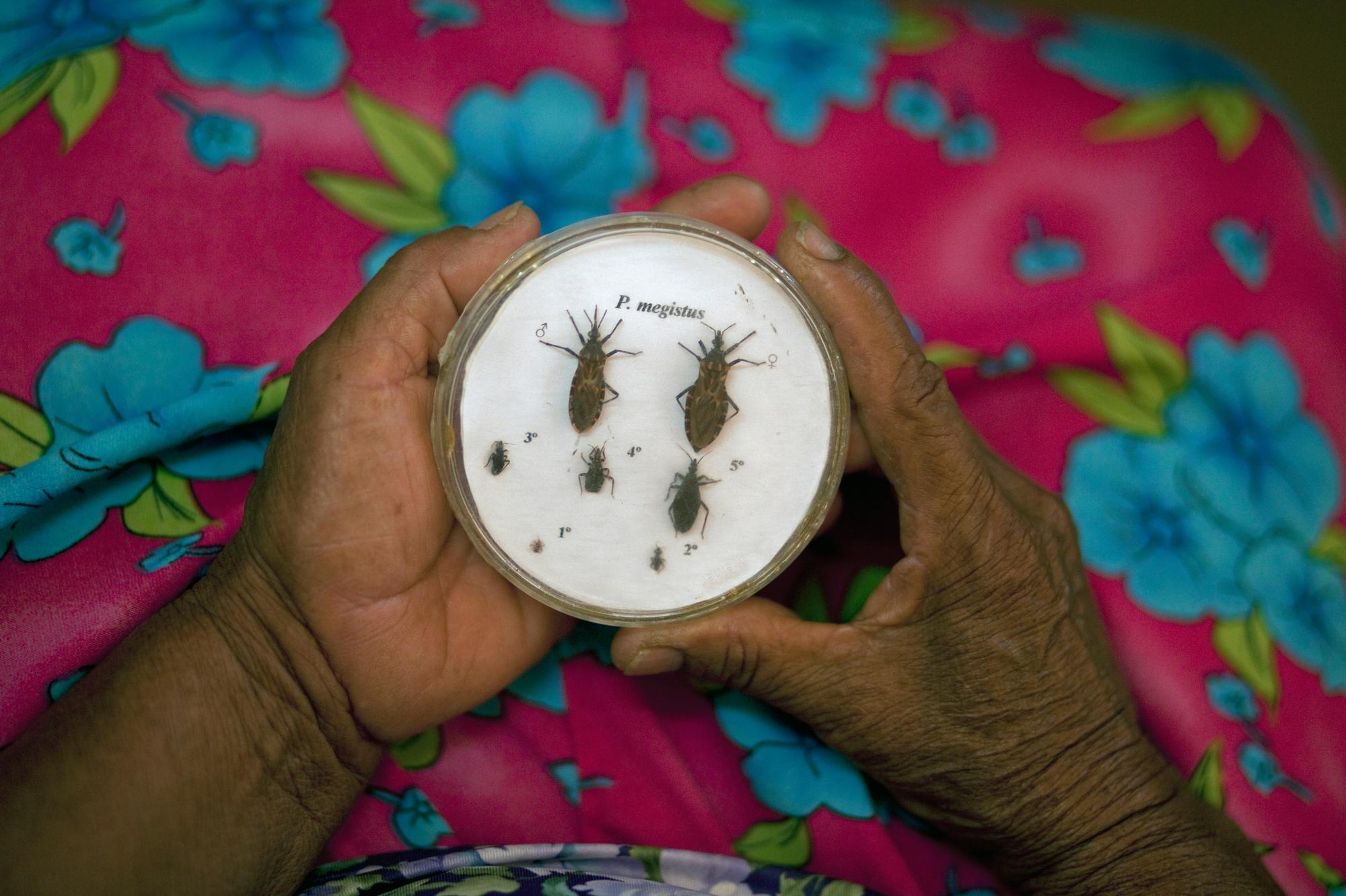 """The Triatoma bug, also known as the """"kissing bug"""", carries the parasite that causes Chagas."""
