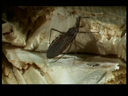 VIDEO: Chagas Disease (ENG)